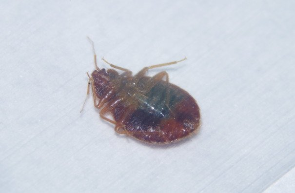 Bed Bug Pest Control Service Mr Bed Bugs Hamilton